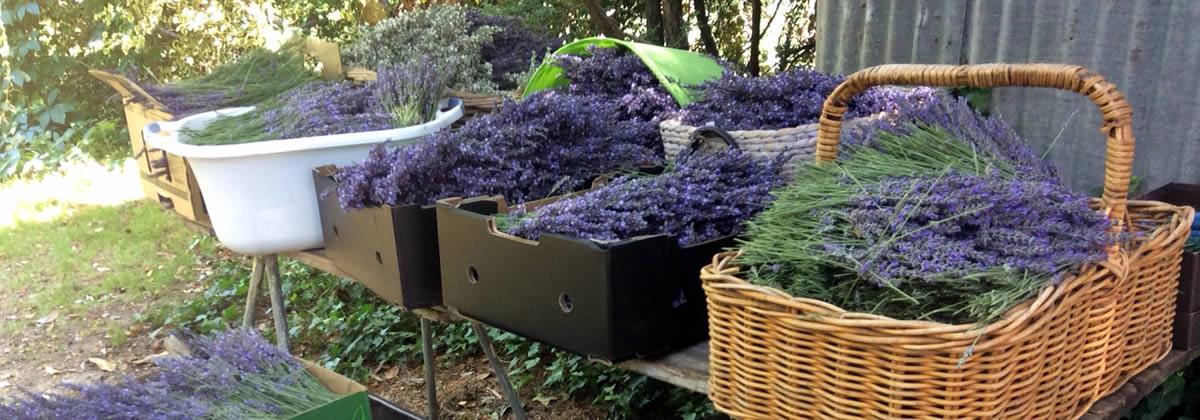Picked Lavender